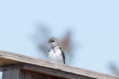DSC_0384.jpg (ldjaffe) Tags: violetgreenswallow ucsantacruz greatmeadow