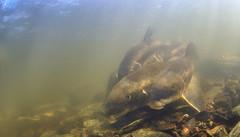 White Sucker Spawning Group (Fish as art) Tags: spawning spawningsalmon fisheries fish underwaterphotographypaulvecsei canadianfishes light underwaterlight paulvecseiphotography deepnorth canadianarctic greatslavelake
