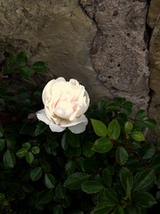 Rose flower, роза (Anna Gelashvili) Tags: цветок flower flowers цветокроза роза сад garden roseflower rose цветочки ვარდი თეთრივარდი ყვავილი ყვავილები
