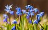 IMG_0761 (umnoff.ru) Tags: 2017 canoneosm3 scilla scylla макро пролеска сцилла цветы