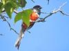 DSCN9494 (David Bygott) Tags: usa arizona bird eleganttrogon madera