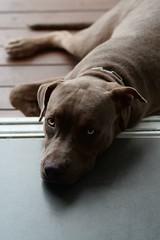 Yellow Eye (setthathanpaisan) Tags: pitbull mydog doglove summicron90 leicasl leica leicam
