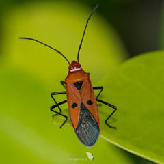 _5ND9576_LR_LOGO (Ray 'Wolverine' Li) Tags: heteroptera insects stainer pyrrhocoridae hongkong asia
