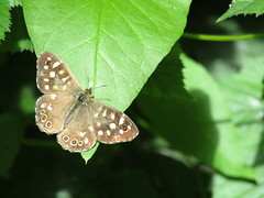 Speckled Wood Butterfly (stevencarruthers93) Tags: nature wildlife photography wigan wiganflashes outdoors naturephotography wildlifephotography greenheart