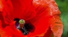 Colours (hutsepot) Tags: flower bloem fleur bluhme color colour couleur kleur farbe poppy papaver pavot mohn flanders fields vlaanderen flandre flandern rot rood rouge red