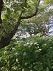 権現堂 あじさい祭り (Gazz'n'Sho) Tags: 権現堂 gongendo satte saitama japan hydrangea あじさい