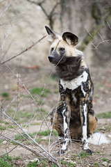 African painted dog (Cloudtail the Snow Leopard) Tags: wildhund zoo basel cloudtail snow leopard tier animal mammal säugetier canide afrikanischer african wild dog painted hunting cape wolf lycaon pictus cloudtailthesnowleopard