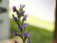 Gewöhnlicher Natternkopf (hrbiemcknips) Tags: echium vulgare gewöhnlicher natternkopf