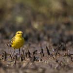 Yellow bird thumbnail