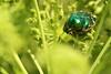 Rosenkäfer (gwiwer) Tags: makro macro nature metallic bug käfer green rosenkäfer flowerchafer