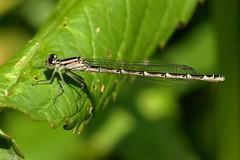 Damselfly (david.england18) Tags: damselfly flitting abundant localpark queensparkheywood canon7d sigma105mmf28exdgoshsmmacro