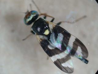 Picture-winged Fly - Urophora quadrifasciata