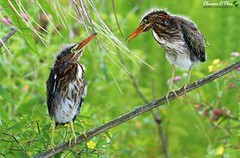 """""""You must be new here."""" (Shannon Rose O'Shea) Tags: shannonroseoshea shannonosheawildlifephotography shannonoshea shannon greenheron baby babies babyhair bird birds greenherons beaks beak feathers wings branch green nature wildlife waterfowl circlebbarreserve lakeland florida flickr wwwflickrcomphotosshannonroseoshea outdoors outdoor birdyfeet canon canoneos80d canon80d eos80d 80d canon100400mm14556lisiiusm colorful fauna butoridesvirescens"""