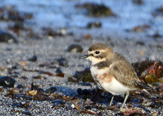 Double-banded Plover - male