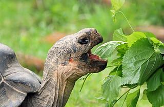 Hungry Giant Tortoise!