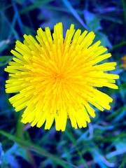 Dandelion (duaneschermerhorn) Tags: flower yellow blue dandelion color colorful weed weeds grass