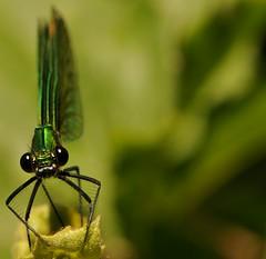 nel vestito migliore... (andrea.zanaboni) Tags: libellula dragonfly occhi eyes nikon macro insetti insects verde green