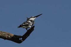 0527 Graufischer - Pied Kingfisher (uwizisk) Tags: cerylerudisleucomelanurus graufischercerylerudis india indien piedkingfisher ranthambhorenationalpark