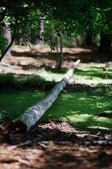 walk about Harris Lake 40 (furrycelt) Tags: harrislake newhillnc nikon85mmf14afd nikon85mmf14 northcarolina shearonharrisreservoir ianwilson jianwilson photographersoftumblr 85mm d600 nikon forest furrycelt lake lensblr log natural nature trees water woods