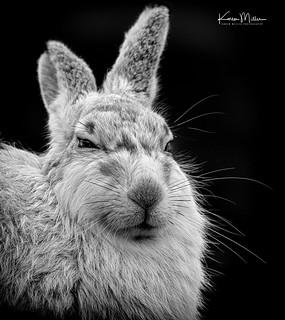 Mountain Hare in Monochrome