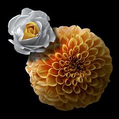 Rose & Dahlia (Pixel Fusion) Tags: rose dahlia flower flora nature macro nikon d600