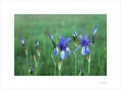 Lilien (E. Pardo) Tags: lilien lirios lilies flores blumen flowers colores colors farben primavera frühling spring pradera wiese meadow