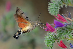 A Hummingbird Hawk-Moth feeding. (E P Rogers) Tags: insects moth hover proboscis nectar flower