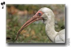 Ibis blanc / White Ibis (passion photos animalières) Tags: ibisblanc whiteibis eudocimusalbus oiseaux birds bompanobeach floride pleinair outdoor passionphotosanimalières wildlifephotography