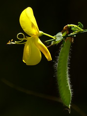 Genêt (a.laruelle) Tags: jaune fleur genêt