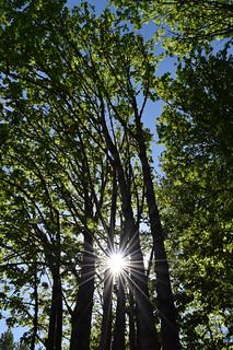 maple sunburst