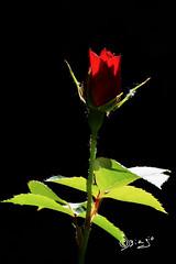 Dedicata alle vittime di Manchester!!! (Biagio ( Ricordi )) Tags: manchester rosa fiori flower rosso inghilterra arena concerto
