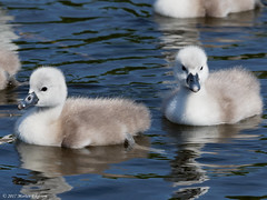 H5186035_DxO-17 (mortenekstrøm) Tags: swan olor cygnus mute europe water bird white nature baby swimming animal chicks young cute family wild wildlife chick waterfowl cygnet close spring hatchlings life adorable fluffy danish denmark