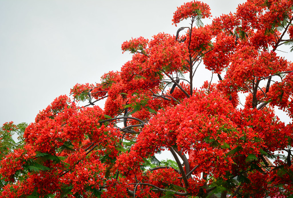 The world 39 s best photos of ornamental and sky flickr - Decorative trees with red leaves amazing contrasts ...