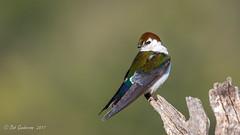 Violet-green Swallow (Bob Gunderson) Tags: birds santaclaracounty southbay swallows tachycinetathalassina violetgreenswallow daepthoffield nature sunrays5