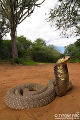 Naja annulifera - Snouted Cobra. (Tyrone Ping) Tags: naja annulifera snouted cobra venomous venom danger elapid wwwtyronepingcoza snake sankes reptiles reptile reptilesofsouthafrica wide angle canon7d tokina 1424 nature herping herps herpetology wildherps wildanimals