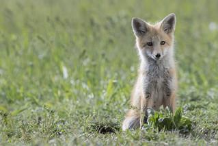 fox kit dm