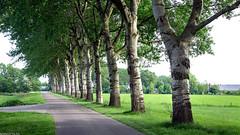 Groenedijk (Emil de Jong - Kijklens) Tags: groene dijk landschap landscape tree trees boom bomen laan lane gras grass netherlands kijklens plataan platanen