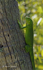 Green Iguana (Kevin B Photo) Tags: kevinbarry greeniguana browardcountyflorida