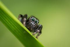 o00o (guillaume.randon) Tags: saltique d7200 nikon macro araignée sigma105mm kenko14