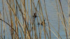 Poules d'eau (sergeb.) Tags: pouledeau animaux roseaux eau lac