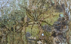 lichen, meet spider (dustaway) Tags: arthropoda arachnida araneae araneomorphae hersiliidae tamopsis australianspiders spideronbark tamborinemountain mounttamborine nature spinne araignee natur sequeensland queensland australia