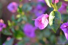 """""""Toffee"""" - Purple leavy flower (roanfourie) Tags: nikon nikkor 35mm plant flower nature macro lateautumn"""