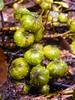 Ficus hispida (tammoreichgelt) Tags: fig boombil moraceae fruit root hairy tree queensland daintree rainforest cauliflorous