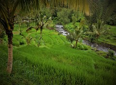a river runs through it (SM Tham) Tags: asia southeastasia indonesia bali island jatiluwih riceterraces unescoworldheritagesite landscape river water coconuttrees scenery outdoors