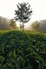 Tea Garden (kailas bhopi) Tags: munnarhills munnar munnar2017 tealeaf teafarming teaestate tea teagarden nikond7200withtokina1116 nikon7200 tokina kerala keralatourisum