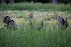 (Fritter and Waste) Tags: turkeys wildturkeys wildlife wild nature
