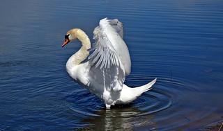 Mute swan. Töölönlahti (Sea bay in Helsinki)