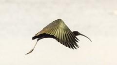 Glossy Ibis RSPB Ham Wall (Doyleecart Photography) Tags: glossyibis rspb hamwall mendip somerset westcountry england uk europe wildlife birdlife ngc doyleecart canon5dmkiv