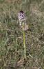 Burnt Orchid (Neotinea ustulata) (macronyx) Tags: nature blommor växt växter flower flowers plant plants krutbrännare orkide orchid neotinea burntorchid neotineaustulata