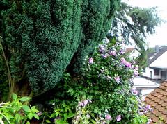 IMGP0990 (vuz11) Tags: hibiscus zypressen